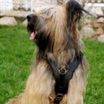Luxury Dog Harness for Briard | Handmade Dog Harness