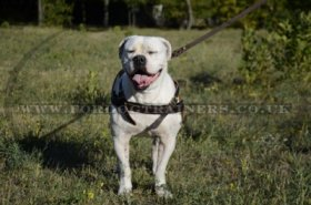 American Bulldog Harness for Tracking/Pulling