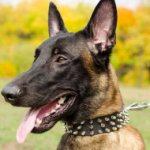 Super Stylish Leather Dogs Collars for Belgian Malinois