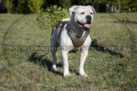 Designer Dog Harness for American Bulldog - Best Choice!