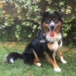 No Pull Dog Harness for Australian Shepherd | Dog Harness