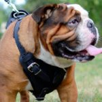 Padded Dog Harness for English Bulldog