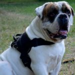 American Bulldog Training Dog Harness | American Bulldog Harness