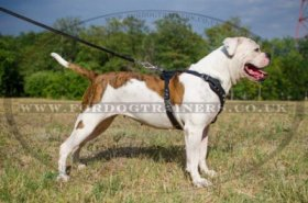 """Jewel"" Exclusive American Bulldog Harness UK Adorned With Pyramids"