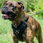 Boxer Harness UK Bestseller | Handcrafted Padded Leather Harness