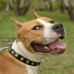 The Best Staffy Leather Collar with Brass Studs