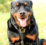 Rottweiler Harness UK Top Quality | Dog Harness for Rottweiler