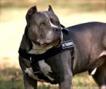 Pitbull Harness UK for Dog Training | Nylon Harness for K9 Dogs