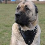 Caucasian Shepherd Harness | Dog Training Harness K9