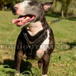 Bull Terrier Harness: Chik and Comfort