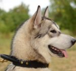 Dog Collar with Handle for Siberian Husky for Sale UK BESTSELLER
