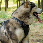Siberian Husky Harness Padded | Bestseller Dog Harness for Husky