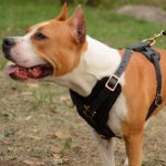 Padded Leather Dog Harness for Comfort and Style of Your Staffy!
