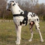 Nylon Dog Harness for Great Dane Walking, Pulling and Tracking