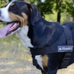 Dog Harness K9 for Swiss Mountain Dog Training