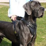 Great Dane Harness for Dogs Training | Strong Dog Harness