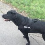 Best Labrador Dog Harness to Stop Dog Pulling on a Leash