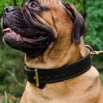 2 Ply Leather Dog Collar for Strong, Big Dogs Like Bullmastiff