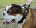 English Bulldog Collar with Handle | Leather Dog Collar 2 Ply
