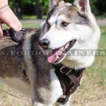 Best Training Dog Harness for Siberian Laika, Malamute and Husky