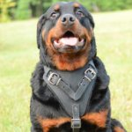 Dog Harness for Rottweiler Training, Agitation and Attack
