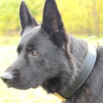 The Best 2 Ply Leather Agitation Dog Collar for German Shepherd