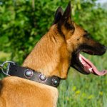 Belgian Shepherd Dog Collar with Studs | Designer Dog Collar