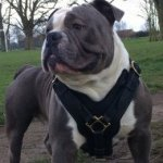 Dog Harness UK Bestseller for Old English Bulldog
