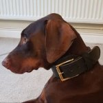 2 Ply Leather, Strong and Thick Doberman Collar for Dog Training