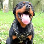 Rottweiler Harness UK Royal Studded Leather