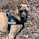 Great Dane Dog Harness Best No Pull Action