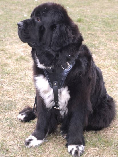 Protection/Attack Leather Dog Harness for Newfoundland
