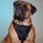 The Best Choice of Leather Dog Harness for Bullmastiff Training!