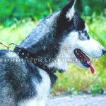 Siberian Husky Dog Collar with Brass Buckle and Studs