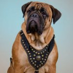 Luxury Nappa Padded Bullmastiff Harness of Brass Studded Design