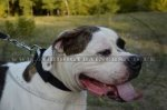 """Modesty"" Multifunctional 2 Ply Nylon Collar For American Bulldog"