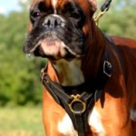 Boxer Harness UK Leather + Brass | Leather Dog Harness for Boxer