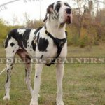 Great Dane Harness | Leather Dog Harness