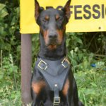 Leather Dog Harness for Doberman| Doberman Training Dog Harness