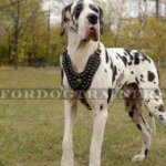 Great Dane Royal Dog Studded Leather Harness