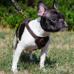 French Bulldog Harness UK | Small Dog Harness for French Bulldog