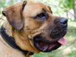Large Dog Collar for Cane Corso | Soft Padded Dog Collar