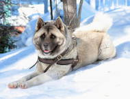 Akita Husky Harness UK | Harness for Husky Dogs