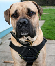 Strong Boerboel Harness with Padded Chest Plate, Nylon