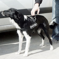 Everyday all weather dog harness for Border Collie