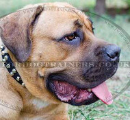 Cane Corso Italiano Dog Collar with Studs | Dog Leather Collar