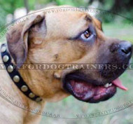 Cane Corso Mastiff Collar with Brass Studs - Bestseller! ♚
