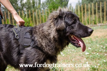 Caucasian Shepherd Training