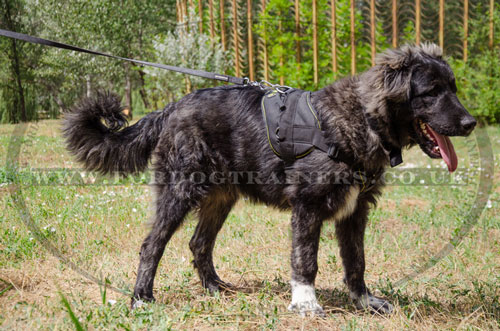 Caucasian Shepherd full chest dog harness