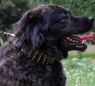 Posh Gold Spiked Dog Collar for Caucasian Shepherd 3 in Wide